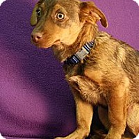 Adopt A Pet :: Armand - Broomfield, CO