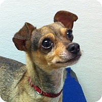 Adopt A Pet :: Harvey - Gilbert, AZ