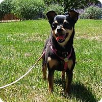 Adopt A Pet :: Lily - Petaluma, CA