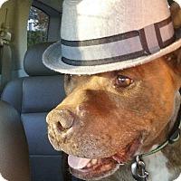 Adopt A Pet :: Chico - Studio City, CA