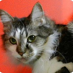 Photo 1 - Maine Coon Cat for adoption in Carrollton, Georgia - SC-Fluffers (MCR)