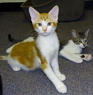 Domestic Mediumhair Cat for adoption in Mt. Vernon, New York - Creamsickle