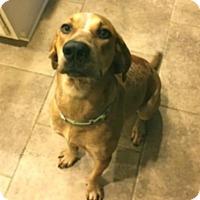 Adopt A Pet :: Iggy, coonhound - Houston, TX