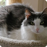 Domestic Longhair Cat for adoption in Anacortes, Washington - Della