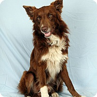 Adopt A Pet :: Buddy Border Collie - St. Louis, MO