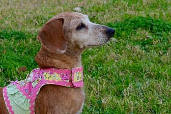 Dachshund Dog for adoption in Pearland, Texas - Lillie
