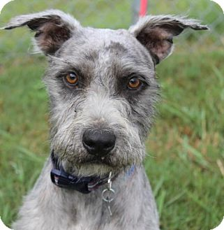 Standard Schnauzer/Terrier (Unknown Type, Medium) Mix Dog for adoption in Spring, Texas - Barry