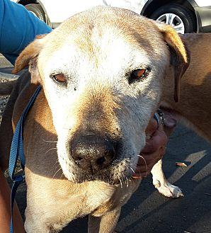 Labrador Retriever Mix Dog for adoption in Los Angeles, California - KOA - COURTESY