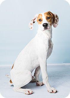 Hound (Unknown Type)/Pointer Mix Puppy for adoption in Hendersonville, North Carolina - Charley