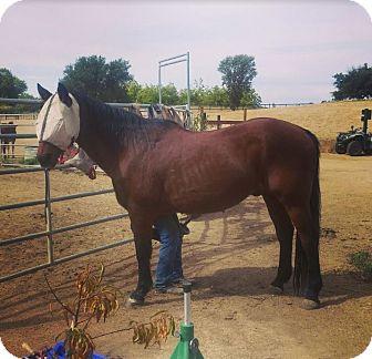 Quarterhorse Mix for adoption in Newcastle, California - Merle