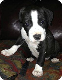American Bulldog/Labrador Retriever Mix Puppy for adoption in Albany, New York - Alex