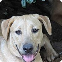 Labrador Retriever Mix Dog for adoption in Grand Island, Florida - Shelly
