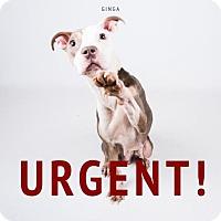 Adopt A Pet :: Ginga - Decatur, GA