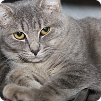 Domestic Shorthair Cat for adoption in Marietta, Ohio - Ernie (Neutered)