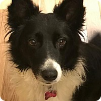 Border Collie Dog for adoption in Highland, Illinois - Sissy