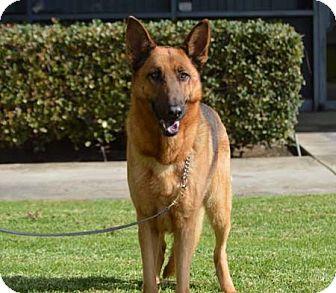 German Shepherd Dog Dog for adoption in San Diego, California - Lily