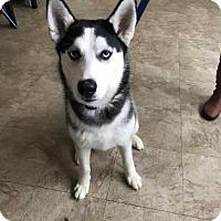 Adopt A Pet :: Sesi - Chicago, IL