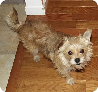 Yorkie, Yorkshire Terrier/Chihuahua Mix Dog for adoption in Morgantown, West Virginia - Pixie