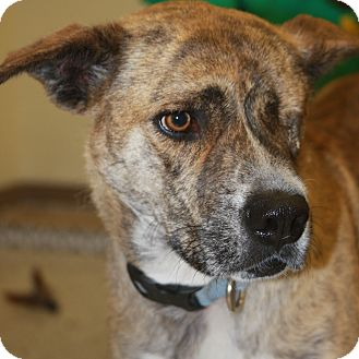 Terrier (Unknown Type, Medium)/Shepherd (Unknown Type) Mix Dog for adoption in Phoenix, Arizona - Amber