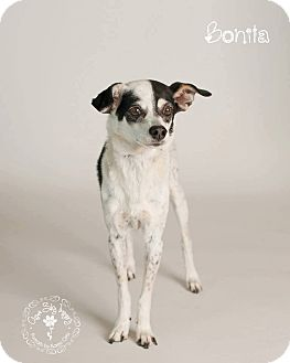 Rat Terrier Mix Dog for adoption in Scottsdale, Arizona - Bonita