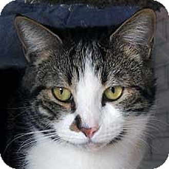 Domestic Shorthair Cat for adoption in Phoenix, Arizona - Tabitha