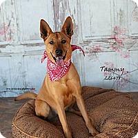 Adopt A Pet :: Tammy (located in TX) - Cranston, RI