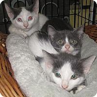 Adopt A Pet :: Ursa - Dallas, TX