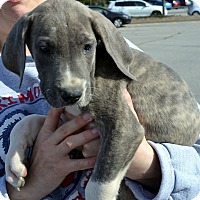 Adopt A Pet :: Pistol-Adoption pending - Bridgeton, MO