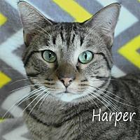 Domestic Shorthair Cat for adoption in Wichita Falls, Texas - Harper
