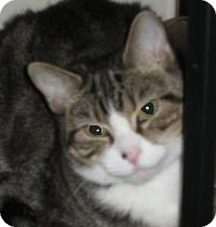 Domestic Shorthair Cat for adoption in Washington, Pennsylvania - Ali