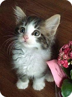 Domestic Mediumhair Kitten for adoption in Troy, Michigan - Prince