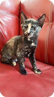 Domestic Mediumhair Cat for adoption in Naples, Florida - Kodak