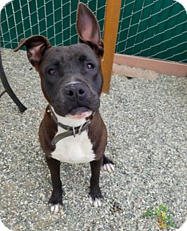 Pit Bull Terrier Mix Dog for adoption in Lompoc, California - Kylee