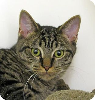 Domestic Shorthair Cat for adoption in Woodstock, Illinois - Victor