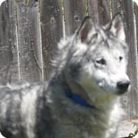 Adopt A Pet :: Domino - SOUTHINGTON, CT
