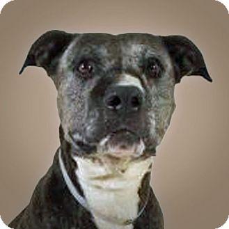 Boxer Mix Dog for adoption in Prescott, Arizona - Wade