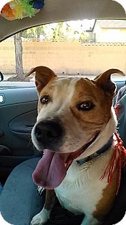 Pit Bull Terrier Mix Dog for adoption in Lancaster, California - Bear the Pit