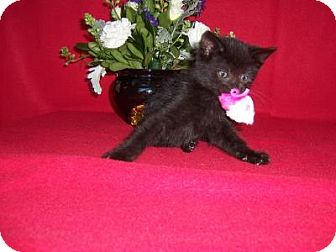 Bombay Kitten for adoption in Taylor Mill, Kentucky - Cubchoo-Born August 2016