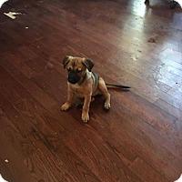 Belgian Malinois Mix Dog for adoption in Von Ormy, Texas - Venus