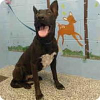 Labrador Retriever/German Shepherd Dog Mix Dog for adoption in San Bernardino, California - URGENT on 10/1 SAN BERNARDINO