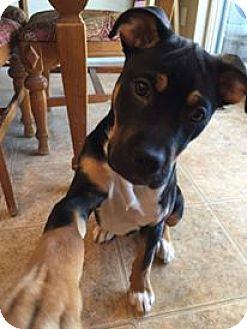 American Staffordshire Terrier/German Shepherd Dog Mix Dog for adoption in Denver, Colorado - Zuko