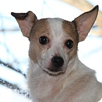 Rat Terrier Mix Dog for adoption in Marietta, Ohio - Phoebe