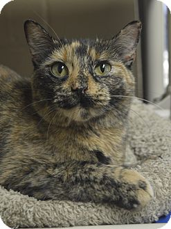 Domestic Shorthair Cat for adoption in Germantown, Tennessee - Bonnie