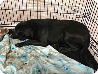 Labrador Retriever Mix Dog for adoption in Waynesville, North Carolina - MARLON