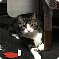 Domestic Shorthair Cat for adoption in Arlington, Virginia - Yin -Energetic/Loving Big Boy