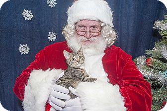 Domestic Shorthair Kitten for adoption in River Edge, New Jersey - Endora