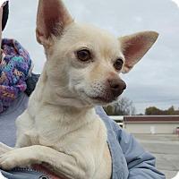 Adopt A Pet :: Blondie - St.Ann, MO