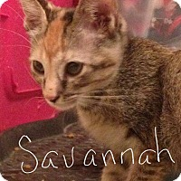 Adopt A Pet :: Savannah - Wichita Falls, TX