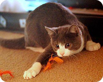 Domestic Shorthair Kitten for adoption in St. Louis, Missouri - Gray
