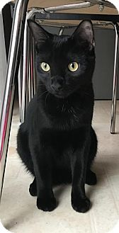 Domestic Shorthair Cat for adoption in Dallas, Texas - Lucky